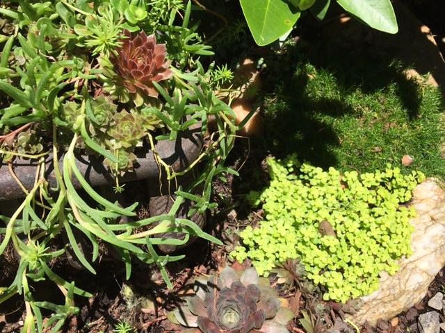 Succulents surrounding antique log grate
