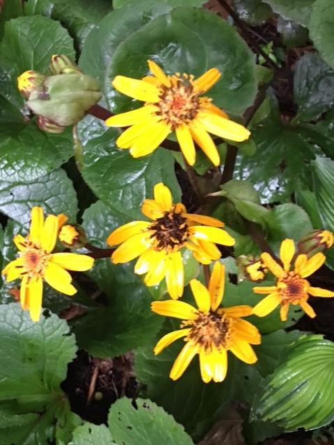 Ligularia blooms