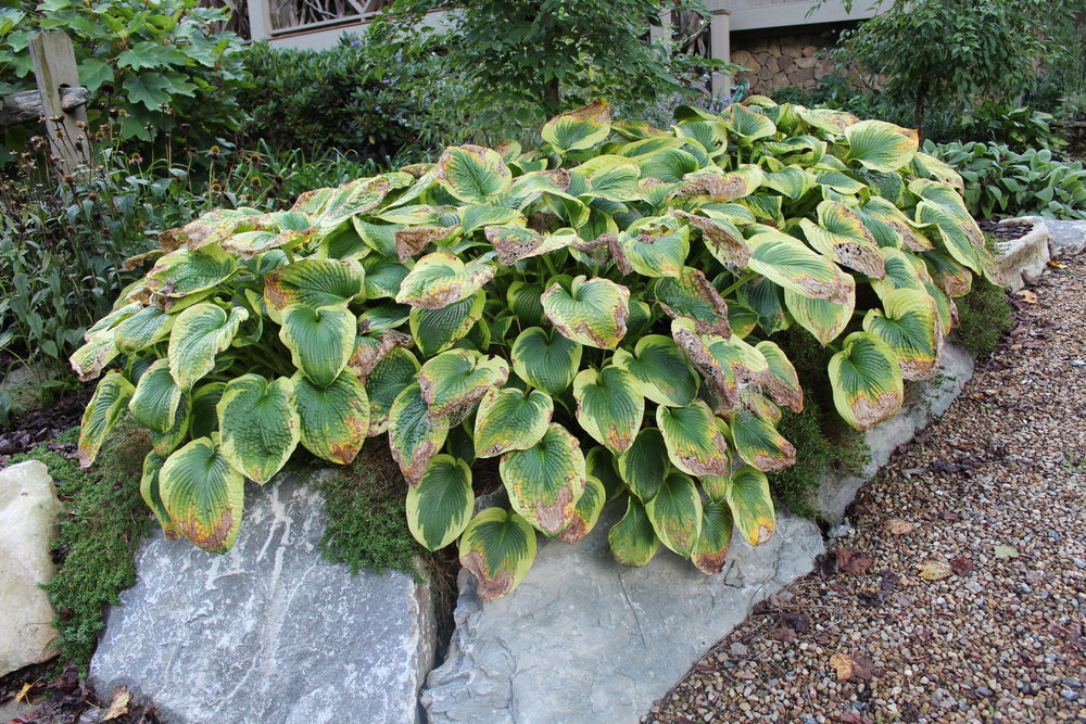 Hostas make a great groundcover and display with their showy leaves, but they are the first perennials to die back in fall. Don't be afraid to go ahead and cut them back. A few new leaves will emerge as temperatures vary, but that's one less job for fall clean-up. Do the same for other perennials as they begin to fade.