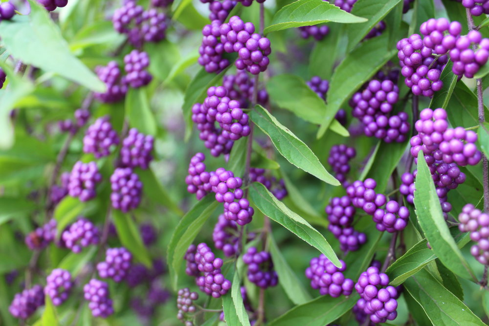 American beautyberry,  Callicarpa americana . A native, this shrub is best in full sun and likes clay soil. Give it plenty of room to grow.