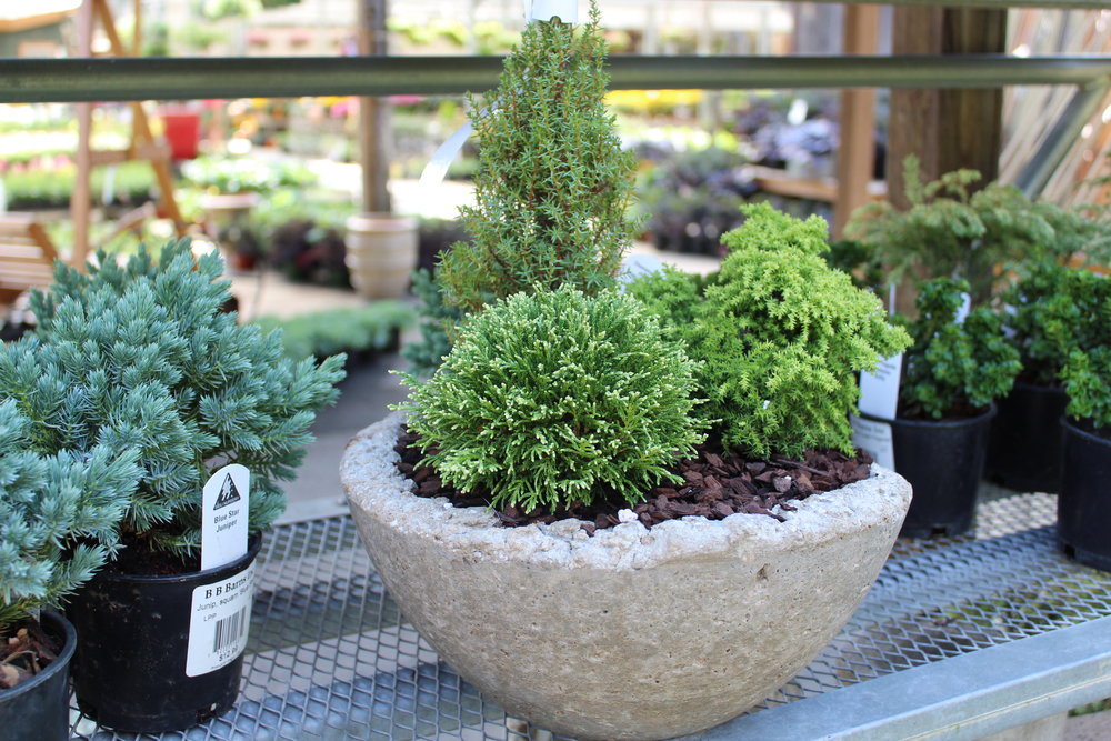Hypertufa pots can stay outside all winter, as well. This one is planted with a selection of small conifers available in the store now.
