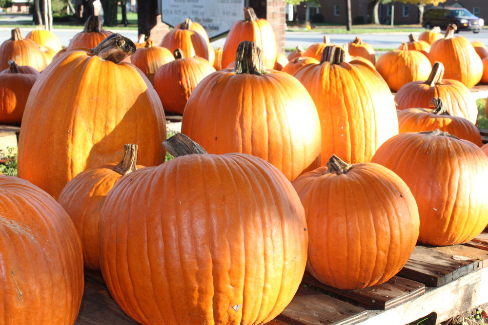 The tall 'Harvest Time Hybrid' pumpkins make good Jack-o-lanterns and last long past Halloween.