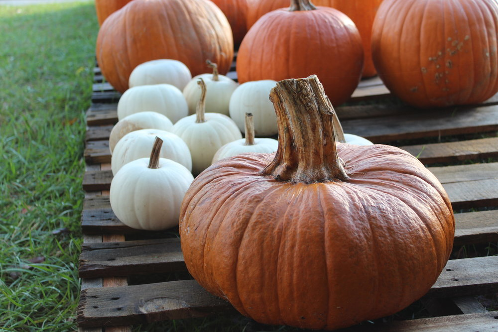 Fairy Tale pumpkins have deep ribs, mahogany color, and a thick stem. Great decor and good pies.