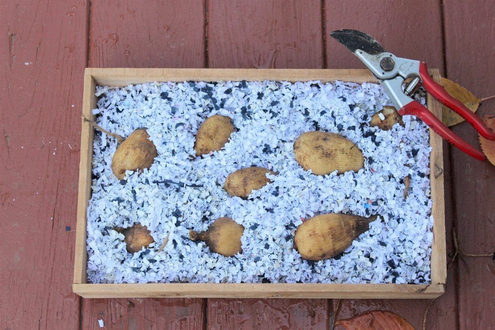 Storing. - There are a couple of ways to store your tubers. This box is an old seed tray with wooden slats on the bottom and sides for air flow. Shredded paper works to reduce evaporation and drying out of tubers. Cardboard boxes or paper bags can be used, and peat moss, coarse sand, sawdust, wood shavings or vermiculite work instead of shredded paper. There's a balance on keeping the tubers dry without drying them out. It's best to err on the dry side.