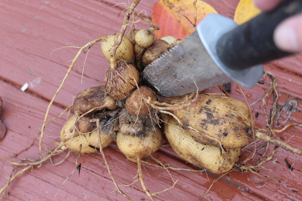Division (After Drying) - When you divide, first remove the mother plant. It will no longer produce flowers. Use a knife like the Hori-Hori knife (Japanese garden knife) to gently separate the new tubers from the original plant. This is easier to do after the clumps have dried outdoors for a few days.