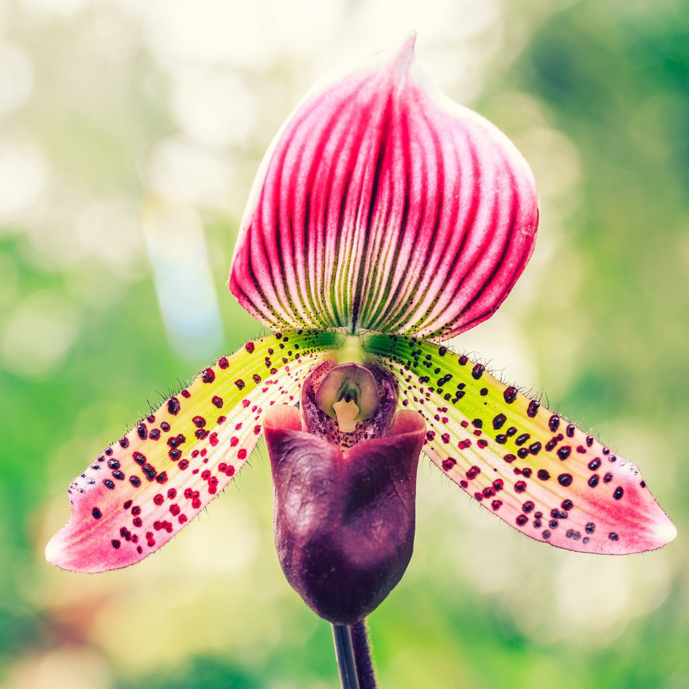 Paphiopedilum (Lady Slipper Orchid) - Light: A low light orchid, and east facing window is best. Temperature: 60°-65° at night. 70°-75° during the day.Watering: Every five days in bark substrate. Water in sink and allow to drain completely.Bloom time: Varies/4-6 weeksFertilizer:  Balanced orchid fertilizer (20-20-20) weekly at diluted strength of 1/4. Flush monthly to remove accumulated salts.