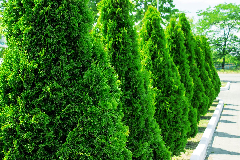 5 Trees For Screening Our Lovable Neighbors B B Barns Garden