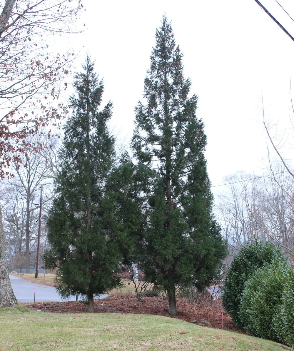 Japanese cedar  - Cryptomeria japonica 'Radicans' or 'Yoshino' look very similar and make an interesting addition to the screen. Pyramidal in shape with tiny cones on the pendulous ends, these sentry-like trees are also narrow.Zone: 5-8Size: 30'-40' x 15'-25''Cultivars suggested: 'Radicans,' 'Yoshino'Culture: Full sun, tolerates light shadeGrowth Rate:FastPests and Disease: Leaf blight of leaf spot
