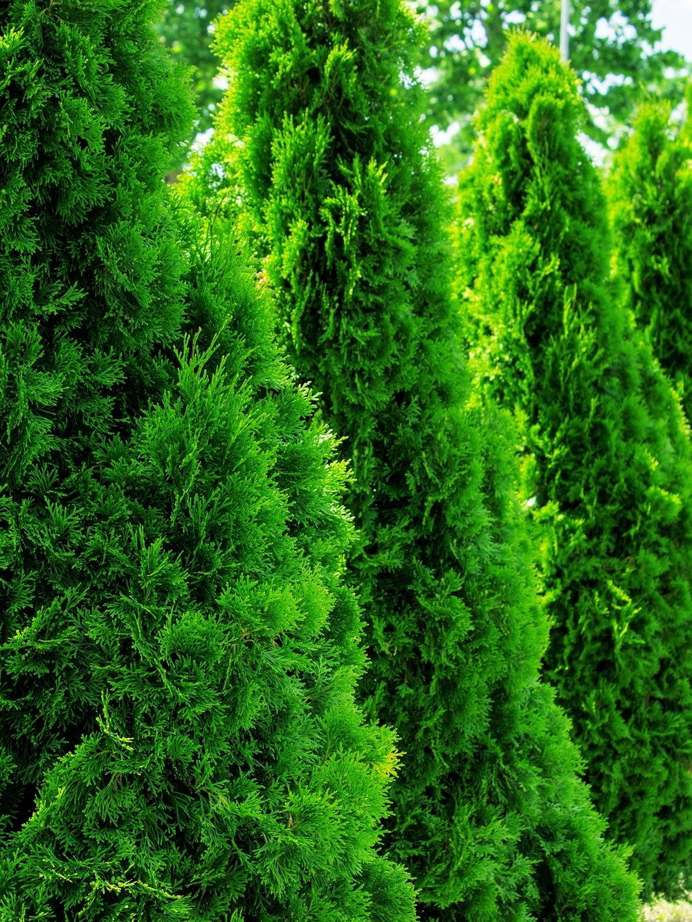 Thuja (aborvitae) - A substitute for Leyland Cypress, many people cannot tell the the Leyland from the 'Green Giant' arborvitae. 'Green Giant' or 'Emerald Green' is a better fit in smaller landscapes.Zone: 5-8Size: 30'-40' x 15'-20, or more narrow varieties 10'-12' x 3'Cultivars suggested: 'Green Giant', 'Emerald Green', 'Yellow Ribbon'Culture: Full sun to part shadeGrowth rate: Medium to FastPests and Disease: No serious issue, sometimes scale or bagworms*'Green Giant' pictured
