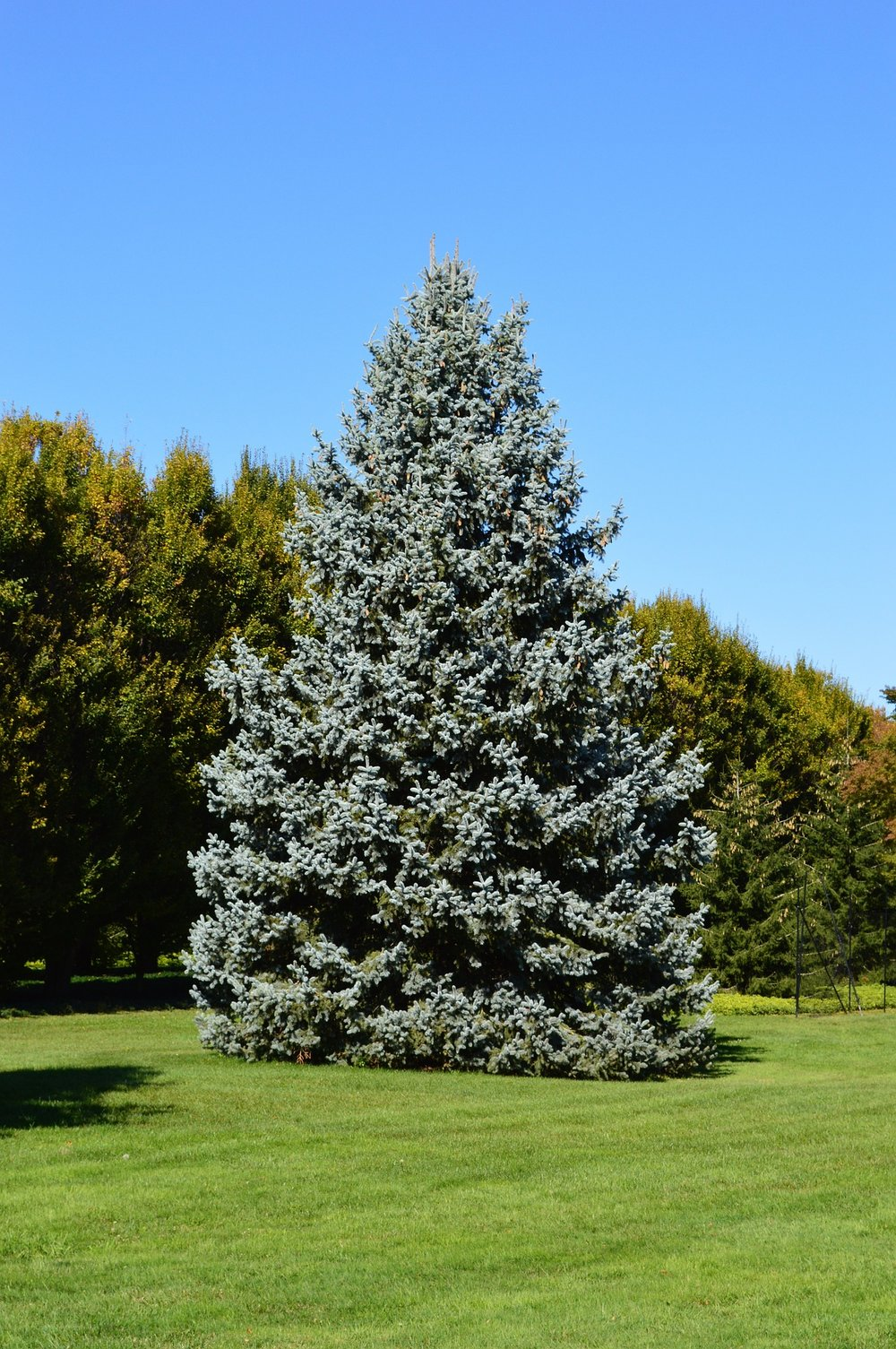 Spruces - Sometimes, one tree is enough. You don't need a row or a hedge, just a well-placed large tree to obscure an eyesore from either direction. Spruces fit nicely into that category.Zone: 2-8Size: 40'-60' x 10'-20' (Norway),10'-15 x 10'-15' (smaller blue spruces)Cultivars Suggested: 'Fat Albert', 'Baby Blue Eyes', Norway, OrientalCulture: Full sun, does not like wet feet, good wind screenGrowth rate:SlowPests and Diseases: Needle cast, canker, bagworms*Colorado Blue Spruce pictured