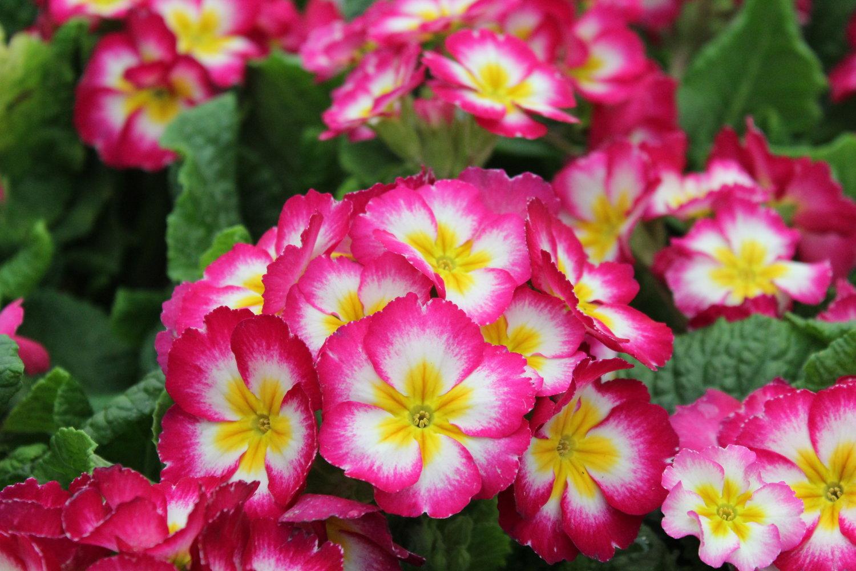 Primroses Not Just A Grocery Store Flower B B Barns Garden
