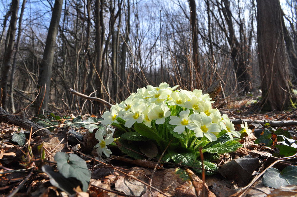 Primroses do well as a woodland garden plant. Their bloom time is early spring through late spring and they are suited to boggy conditions. Use them as groundcovers and early season bloom.