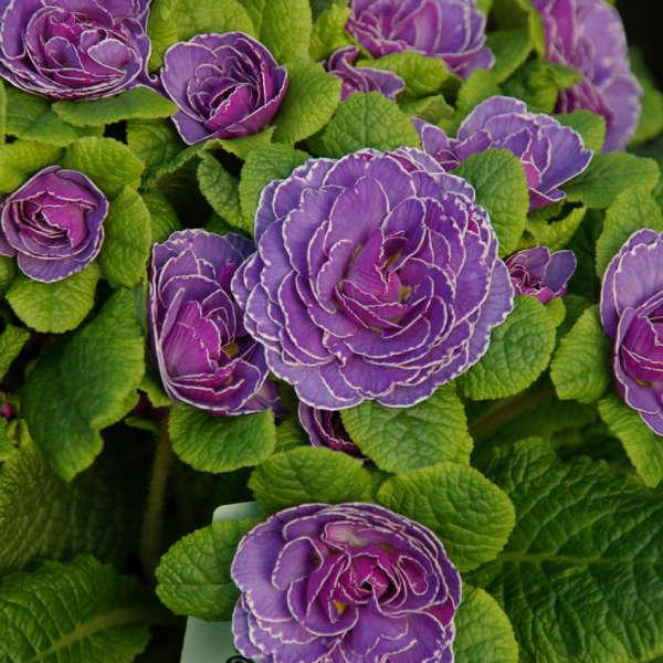 Belarina Primrose vulgaris 'Ameythist Ice'