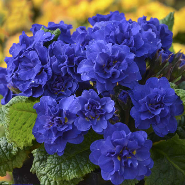 Belarina Primula vulgaris 'Cobalt Blue'