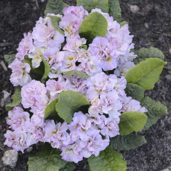 Belarina Primula vulgaris 'Pink Ice'