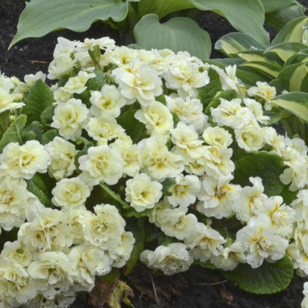 Belarina Primula vulgaris 'Cream'