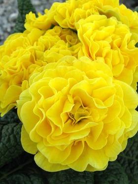 Belarina Primula vulgaris 'Yellow Ruffle'