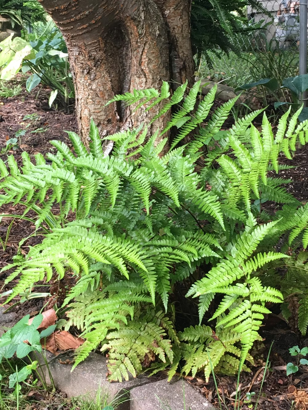 'Autumn' fern gets 2'-3' tall x 2' wide. it looks like it belongs in Jurassic Park with it's sweeping fronds and new bronze color. It is evergreen and likes dry shade.