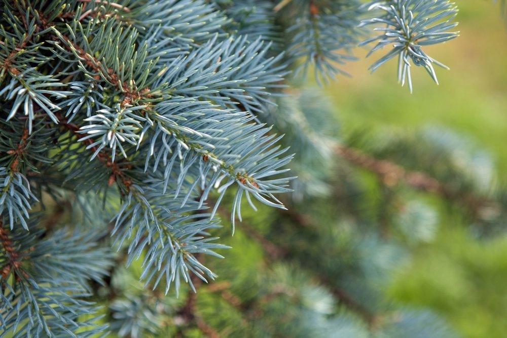 blue spruce-long.jpg