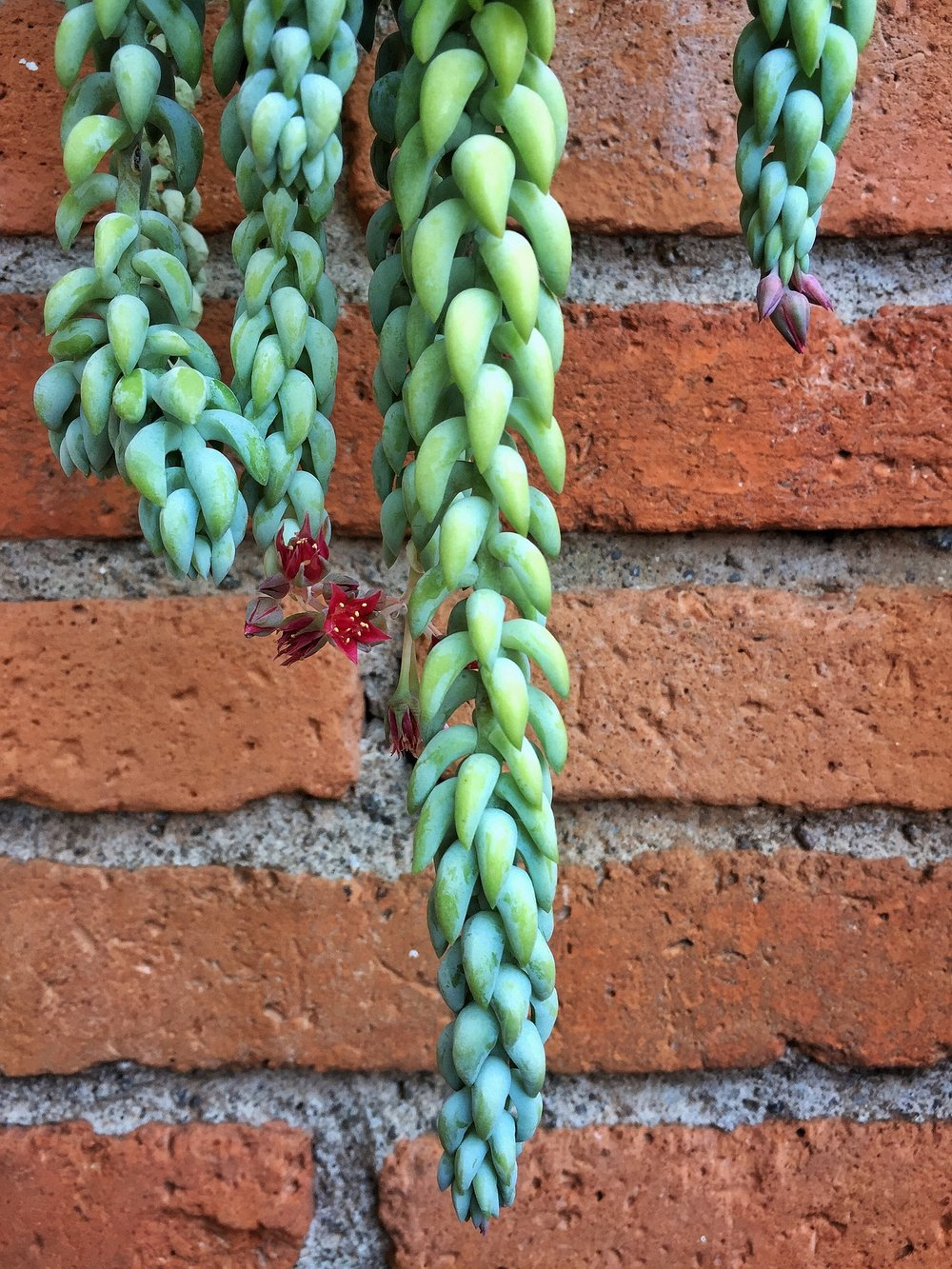 Donkey tail makes a beautiful succulent container without combining it with other succulents.