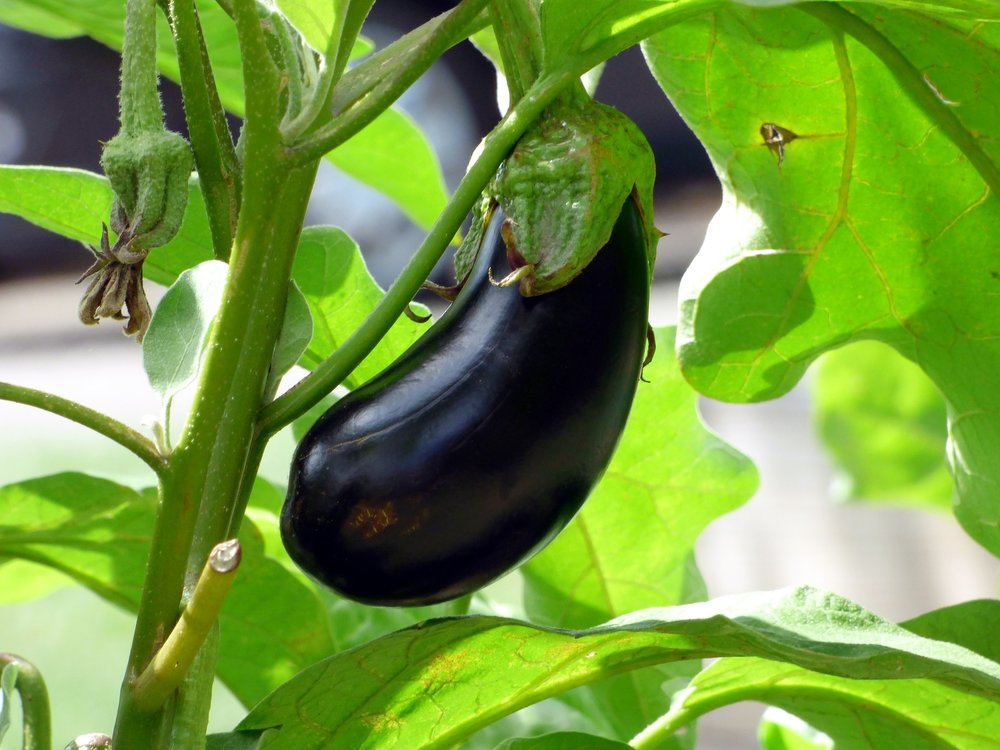 Eggplant is an easy and delicious vegetable (technically, fruit) to try this year.