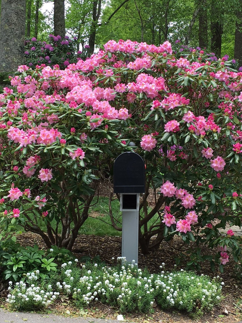If you're mailbox is too shady for a clematis, try a rhododendron.