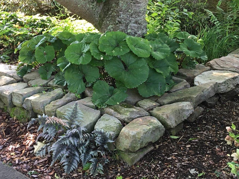 Leopard Plant