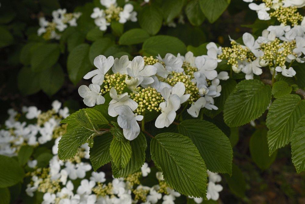 viburnum plicatum.jpg