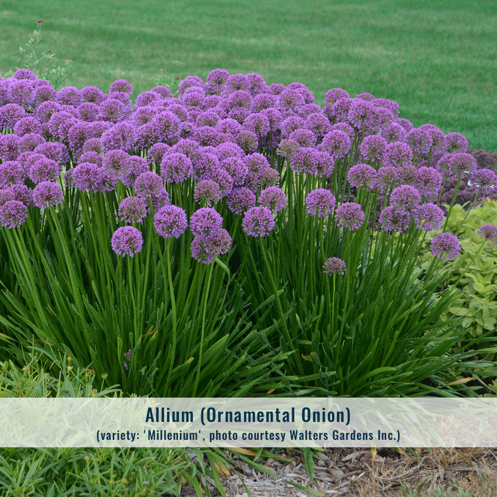Zone: 3-9  Mature size: 1.5' x 1.5'  Cultural conditions: Full sun, average moisture.  Blooms: Late summer