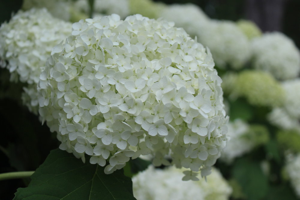 "Hydrangea arborescens 'Annabelle'  is an old favorite. It grows 3-5' x 4-6' and can flop when it rains. Pruning hard (cut back to 12"") in late fall or early spring helps to encourage strong stems and bigger blooms. It blooms on new wood. Newer cultivars like 'Incrediball' and 'Invincibelle Spirit' have bigger blooms (basketball size) and stronger stems."