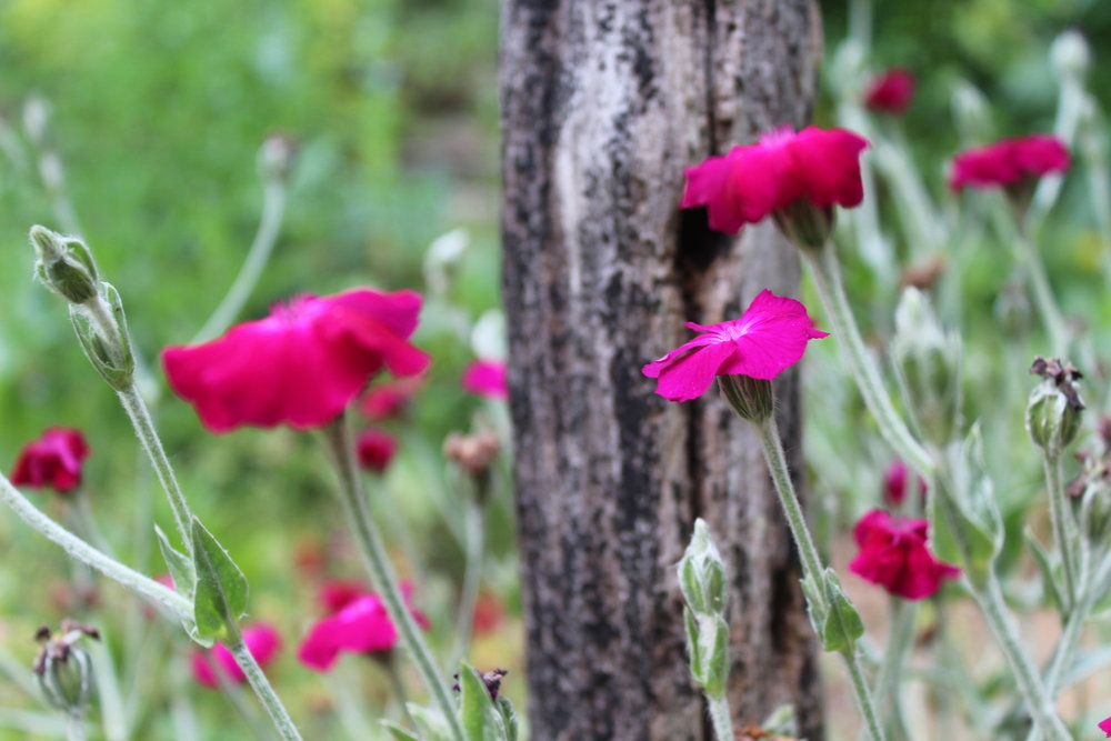 Rose campion or Lynchis coronaria