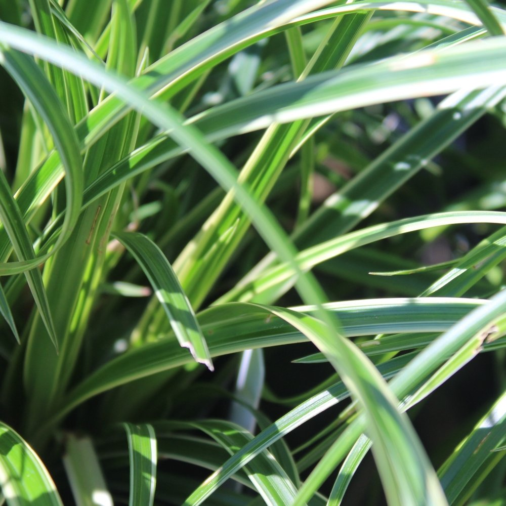 Carex 'morrowii 'Ice Dance' - Zone: 5-8Native: JapanEvergreen: Semi Foliage Color: Green and cream variegatedSpreads: RhizomesHeight: 12,