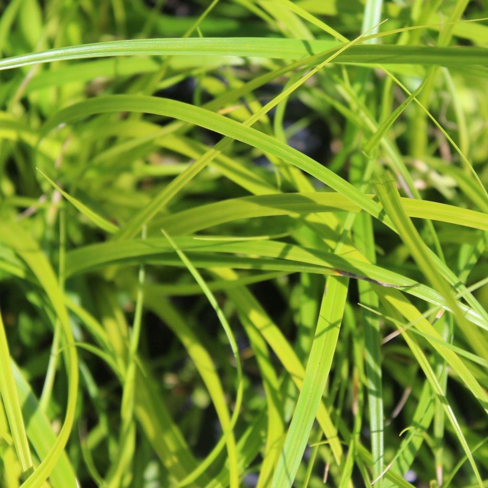 Carex oshimensis 'Everillo' - Zone: 6-8Native:JapanEvergreen: Semi Foliage Color: Lime GreenSpreads: RhizomesHeight: 12