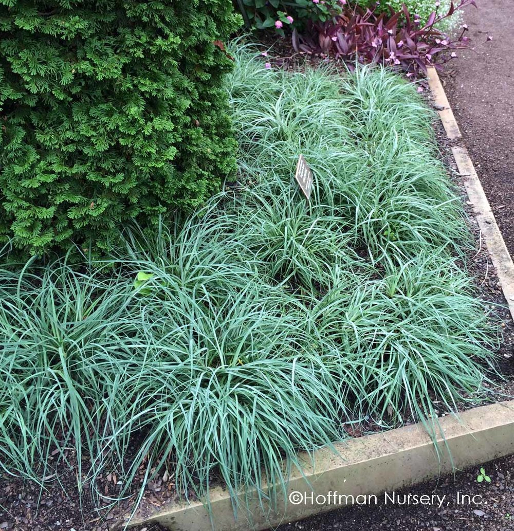 Carex flacca 'Blue Zinger' - Zone: 4-8Native: Europe, N. AfricaEvergreen: Semi Foliage Color: Blue/GreenSpreads: RhizomesHeight: 8