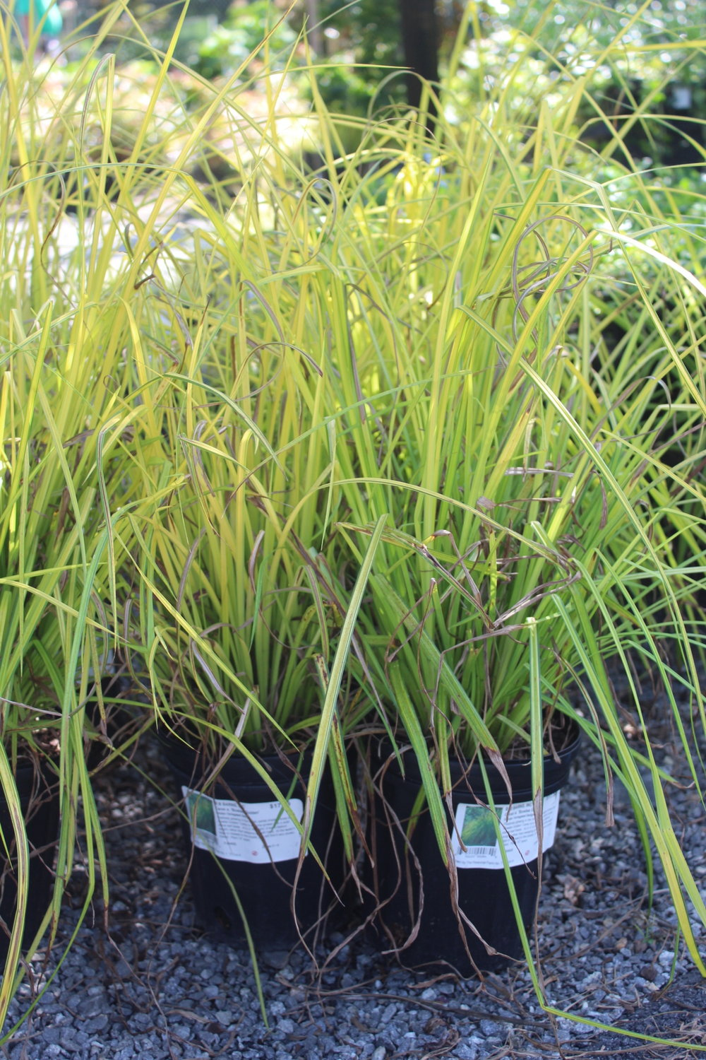 'Bowles Golden' Sedge is a bright chartreuse that reaches 2' tall, thrives in part sun-shade and loves wet soil, including standing water. Perfect for pond banks, rain gardens, and bogs.