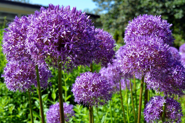 5 Allium Bulbs To Plant This Fall B B Barns Garden Center