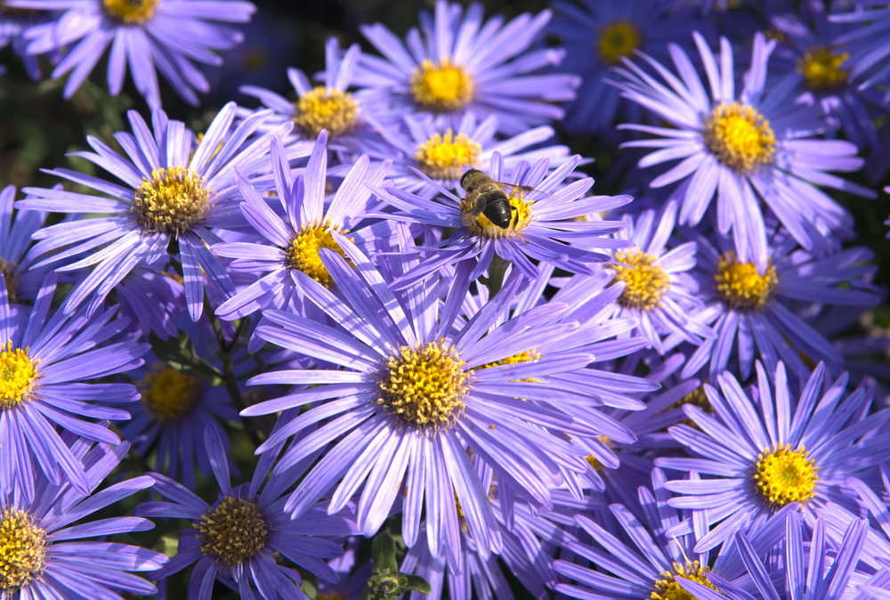 If asters aren't a part of your fall garden, why not? They'll bloom through the first frost, giving you months of late season color.