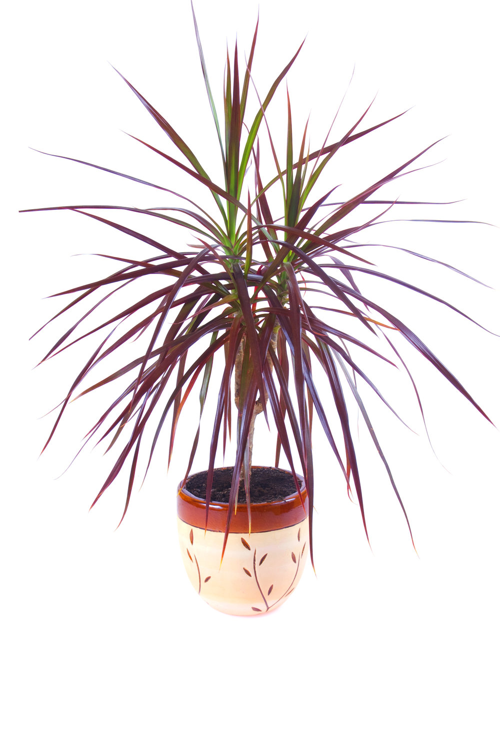 Red-edged dracena