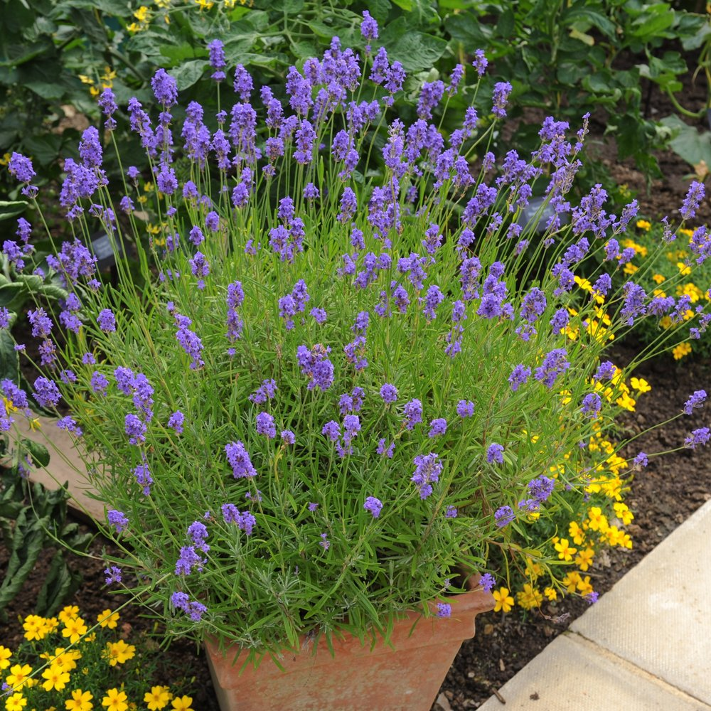 Try growing lavender in containers. The natural drainage of containers makes it easy.