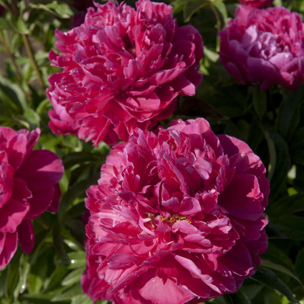 'Karl Rosenfield' is an herbaceous, mid-to-late spring blooming peony. Peonies need little fertilization. Side-dress with compost in spring.