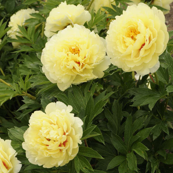 'Bartzilla' peony (Itoh peony). Itoh peonies are a cross between herbaceous and woody peonies, giving them stronger stems, prolific and upright blooms. They are herbaceous and need cutting back in the fall. Fragrance is strong and these make excellent cut flowers.