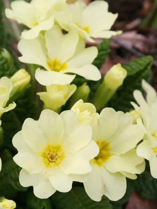 edible+flowers+primroses.jpg