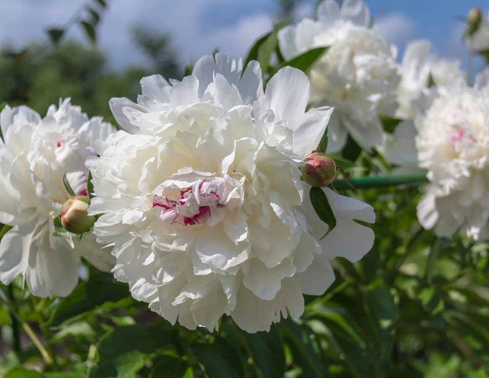 'Festiva Maxima' is an herbaceous, old-fashioned white peony that makes a great cut flower. It is fragrant and a prolific bloomer. A best seller.