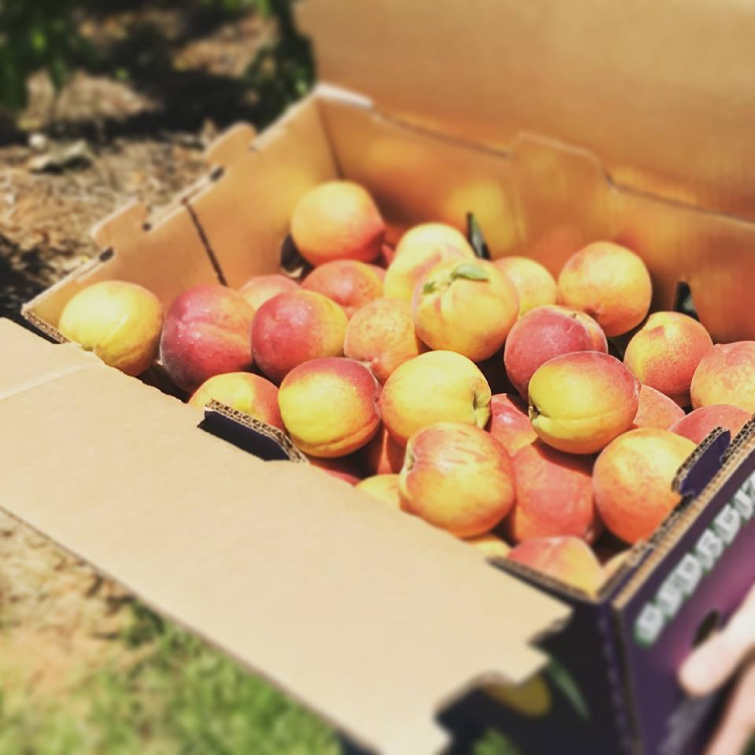 Georgia Peach Truck — B  B  Barns Garden Center & Landscape