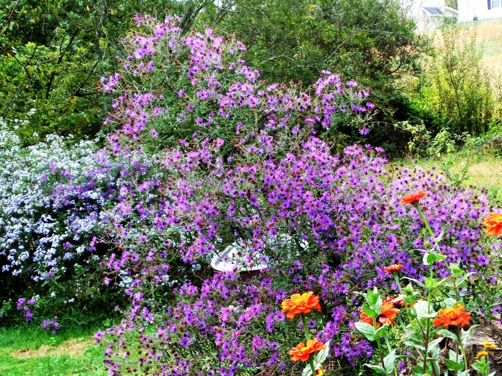 Asters are a fall garden classic that don't mind wet feet.