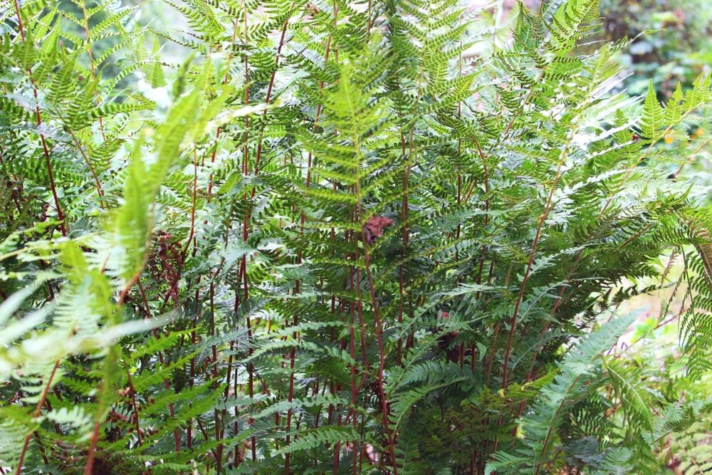 'Lady in Red' fern is delicate with beautiful red stems. Reaching 2' tall, it spreads to 2'-3' and likes bright shade.