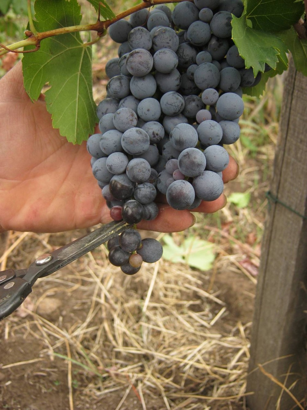 Nerello Mascalese cluster, cutting the end