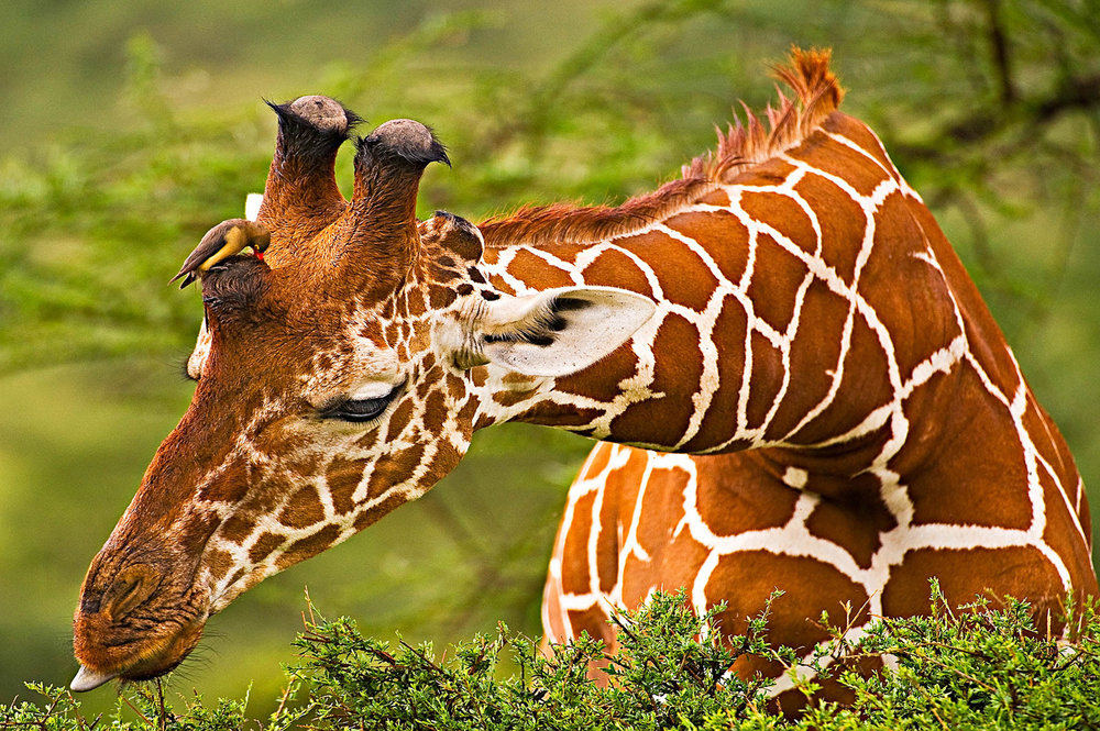 Giraffe-and-FriendMTA_081105_0862.jpg