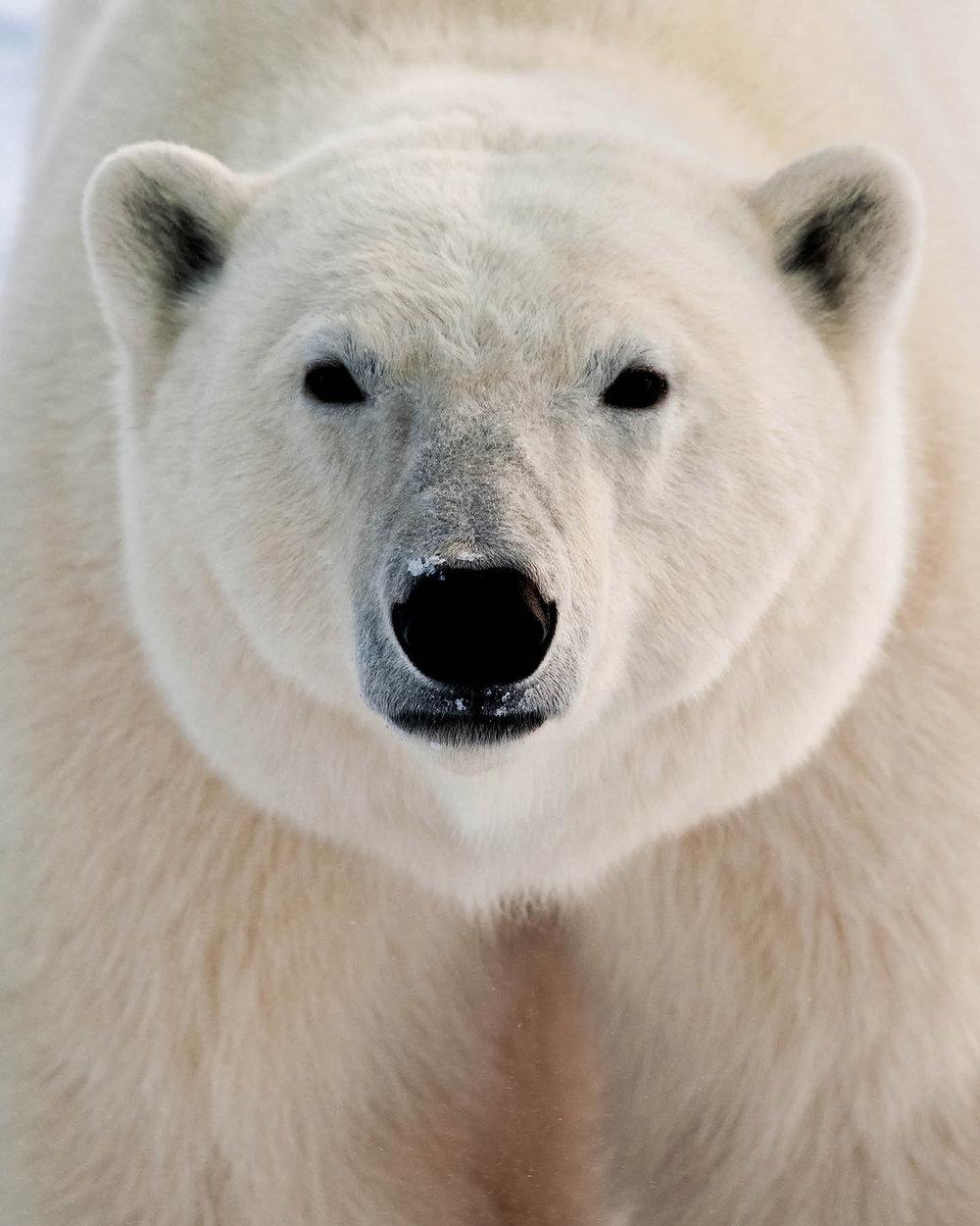 MATTHEW-JORDAN-SMITH---Polar-Bear-Beauty_DSC1254.jpg