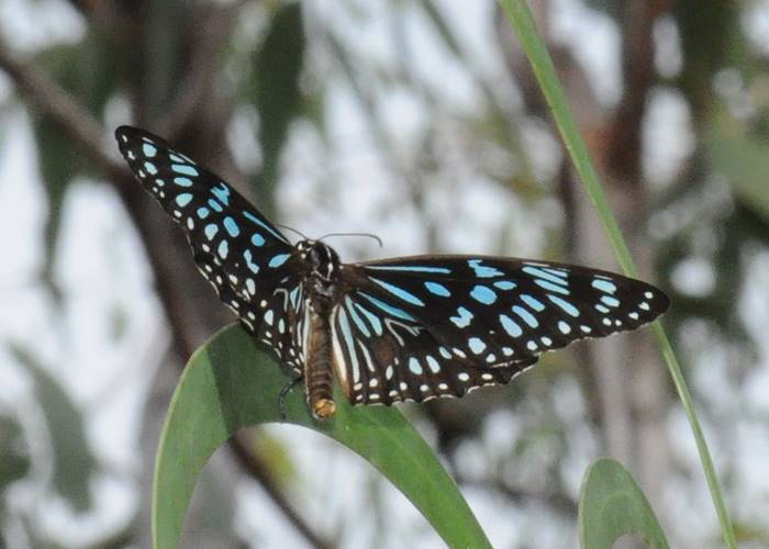 A spectacular butterfly in the Iron Range National Park, Cape York.jpg